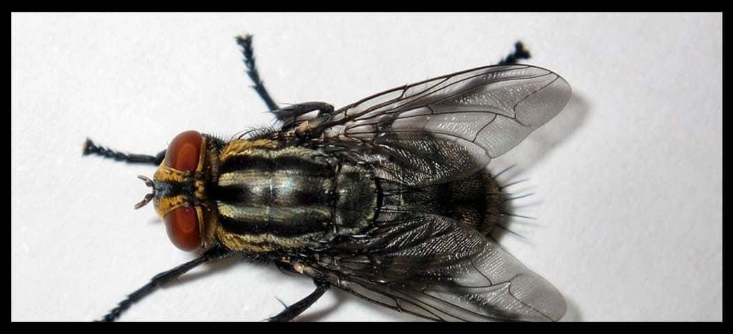 qué son las moscas